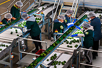 Colombian workers inspect avocados moving along a conveyor belt at a processing plant in Sonsón, Antioquia department, Colombia, 22 October 2019. Over the past decade, the Colombian avocado industry has experienced massive growth, both as a result of general economic development in Colombia, and the increased global demand for so-called superfood products. The geographical and climate conditions in Antioquia (high altitude, no seasonal extremes, high precipitation rate) allow two harvest windows of the Hass avocado variety across the year. Although the majority of the Colombian avocado exports are destined towards Europe now, Colombia aspires to become one of the major avocado suppliers to the U.S. market in the near future.