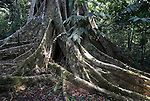 Strangler Fig Tree, Ficus sp, Rio Tigre Jungle, Iquitos, Peru, Amazonian, large roots, big,. .South America....