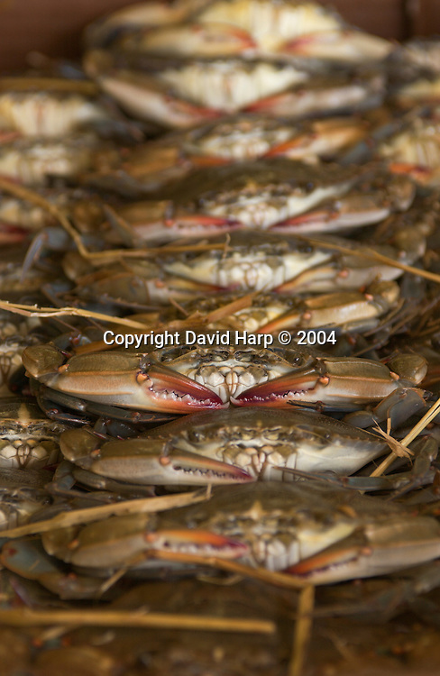 Soft shelled crabs are packed at MeTompkin Seafood in Crisfield.  Both live and frozen, they will be shipped around the world.  These crabs were caught in the waters of Smith Island, MD.