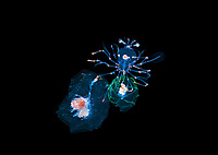 a larval Lobster grabs, not one, but two jellies.  Photographed on a black water drift dive in 30-40 feet of water with the bottom more than 500 feet below.  Palm Beach, Florida, U.S.A.  Atlantic Ocean