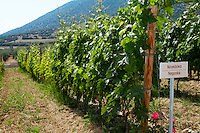 Vines. Negoska vine variety. Biblia Chora Winery, Kokkinohori, Kavala, Macedonia, Greece