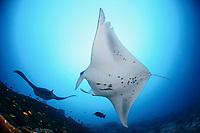 reef manta ray, Manta alfredi, at cleaning station, Manta Point, Gan, Maradhoo, Addu Atoll, Maldives, Laccadive Sea or Lakshadweep Sea, Indian Ocean