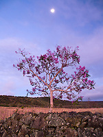 A full moon shines on purple flowers in bloom on a single Jacaranda tree, Big Island.