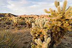 Joshua Tree National Park, California; Cholla Cactus Garden, Teddy-Bear Cholla (Cylindropuntia bigelovii) cactus in the late afternoon