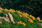 Italie. Italia. Sardaigne. Sardinia.maquis de mimosas en fleur et de lentisques vertes