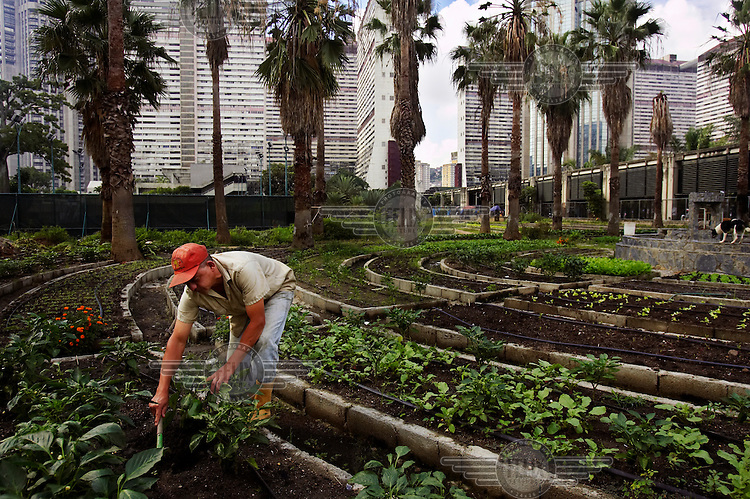 A man tends to vegetables at a government sponsored garden in the city centre. Urban city farms have been opened across Caracas, with the aim of providing the majority of the city's food.