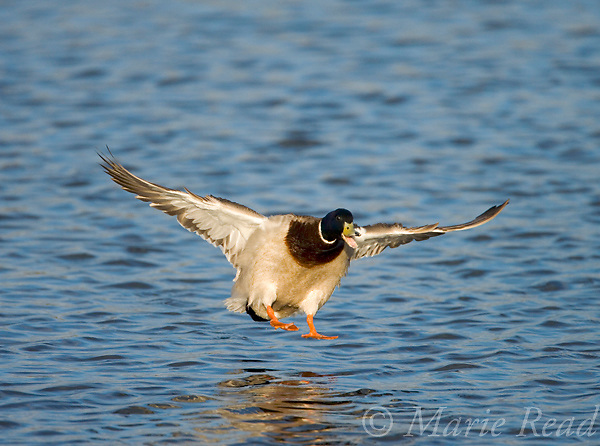Mallard (Anas platyrhynchos) male landing, using feet as brakes, Bolsa Chica Ecological Reserve, California, USA