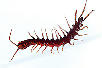 INSECTS - Centipede<br /> Members of a class of the arthropod phylum. Long, segmented animals with jointed appendages and a poisonous &quot;bite&quot; that in some species is dangerous to humans.