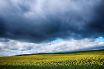 Field of Oil Seed Rape, Northumberland, UK