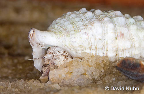 "1207-0904  Aquatic, Underwater Marine Sand Snail Using Foot for Sifting Through Sand for Food, Cerith Snail ""Caribbean variation"", Cerithium spp.  © David Kuhn/Dwight Kuhn Photography"