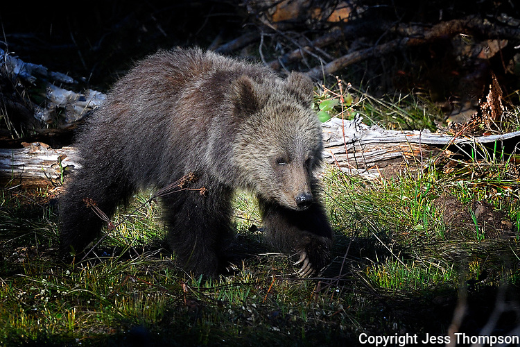 Grizzly Cub, Grand Tetons