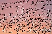00754-02507 Snow Geese (Chen caerulescens) in flight at sunrise Marion Co. IL