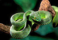 489614005 a captive adult white-lipped palm viper trimeresurus albolaboris sits coiled on a tree limb in ambush position waiting for prey