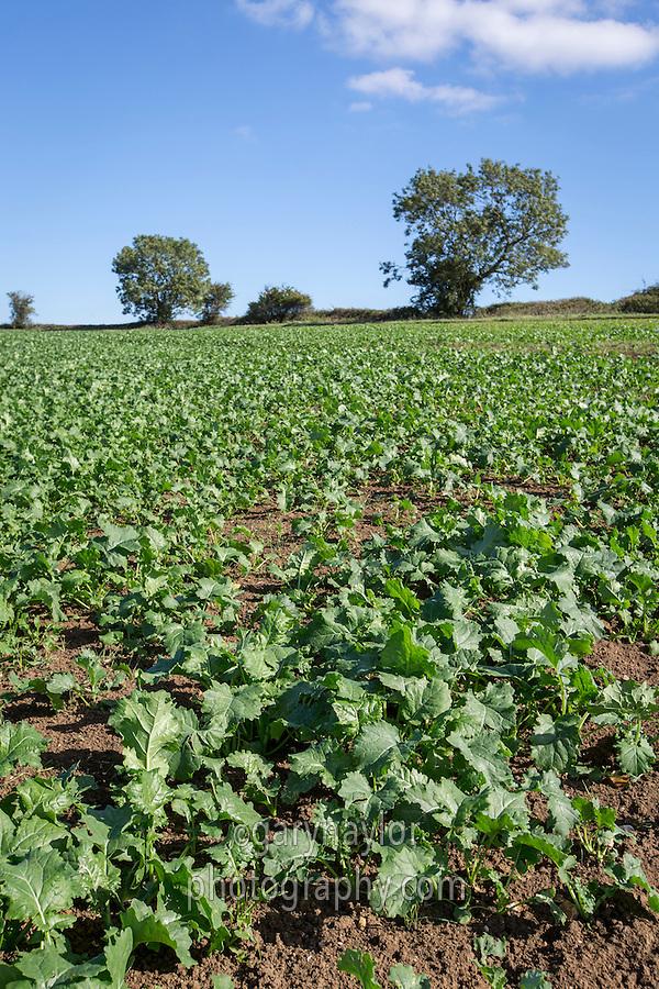Established oil seed rape plants - Rutland; September