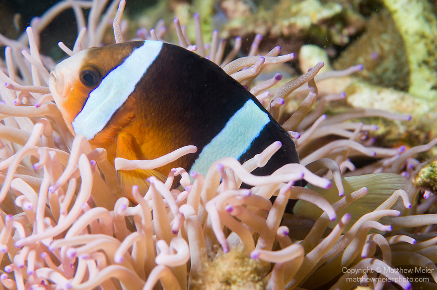 Anilao, Philippines; an adult Clark's Anemonefish (Amphiprion clarkii) perched on it's purple-tipped, pink Leathery Sea Anemone (Heteractis crispa)