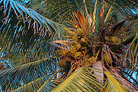 Coconuts growing on a palm tree, Maldives.