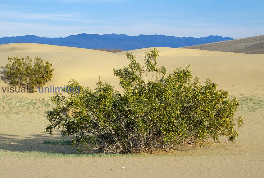 Creosote Bush growing on a sand dune ,Larrea tridentata,. Death Valley National Park, California, USA.