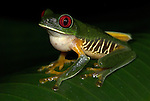 Red Eyed Tree Frog, Agalychnis callidryas, inflated pouch, Costa Rica, calling, croaking, sitting on leaf, tropical jungle, South America, large sticky feet.Central America....