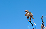 A small Red Tail hawk perches in a tree after being released at Hawkwatch International's Goshute mountain research station. This hawk and raptor banding project is at the largest raptor migration flyway west of the Mississippi in the Goshute mountains of eastern Nevada.