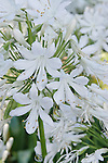 GIANT WHITE LILY OF THE NILE, AGAPANTHUS ORIENTALIS ALBIDUS