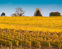 Fall colors on the leaves of grapevines in a vineyard in the  Willamette Valley, OR during sunset