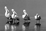 Three white pelicans staring at one sitting, very funny.