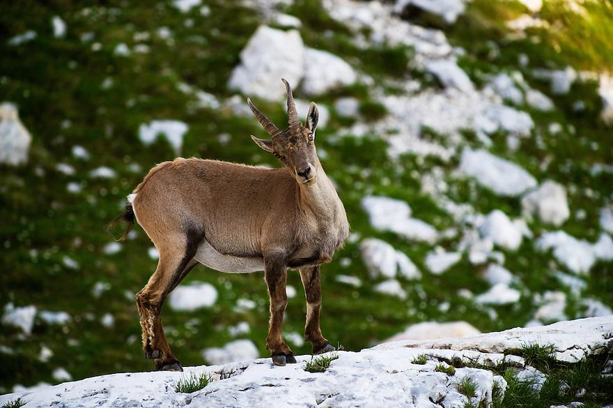 Ibex (Capra ibex), female<br /> Julian Alps<br /> Triglav National Park, Slovenia<br /> July 2009