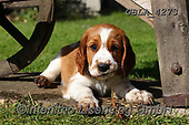 Bob, ANIMALS, REALISTISCHE TIERE, ANIMALES REALISTICOS, dogs, photos+++++,GBLA4273,#a#, EVERYDAY