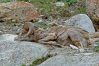 Bighorn ram sleeping in Jasper NP, Alberta, Canada