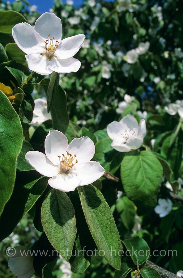 Echte Quitte, Blüten, Cydonia oblonga, Quince, Cognassier