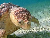 loggerhead sea turtle, Caretta caretta, Belize, Caribbean Sea, Atlantic Ocean
