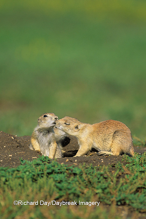 01998-00420 Black-tailed Prairie Dogs (Cynomys ludovicianus)    ND