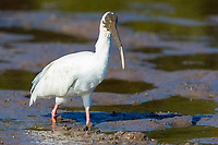 American white ibis, Eudocimus albus, foraging in mangrove, mud flats, Baja California, Mexico, Gulf of California, aka Sea of Cortez, Pacific Ocean
