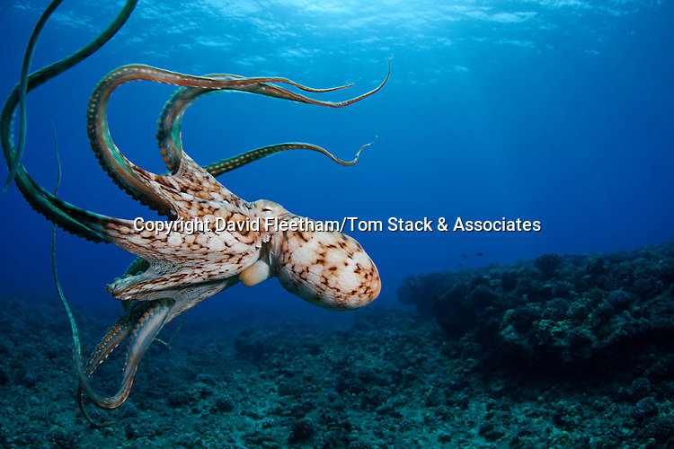 This view shows the jet siphon on this eight armed cephalopod. Day octopus, Octopus cyanea, Hawaii.
