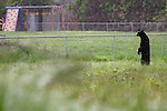 06/01/11--An adult black bear stands on his hind legs to look over a berm in a field between Tualatin Elementary School and an industrial park along SW 95th Avenue....Photo by Jaime Valdez...........................................