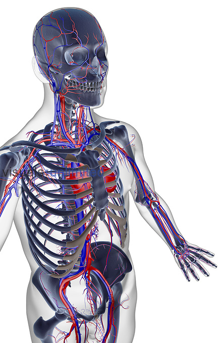 A superior anterolateral view (right side) of the blood supply of the upper body. The surface anatomy of the body is semi-transparent and tinted grey. Royalty Free