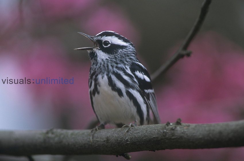 Black-and-White Warbler vocalizing (Mniotilta varia), Ohio, USA.