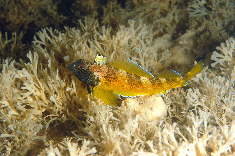 Black-faced Blenny - Tripterygion delaisi