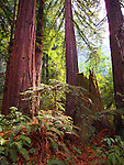 Coast redwoods at Rancho Del Oso,  Big Basin State Park in autumn
