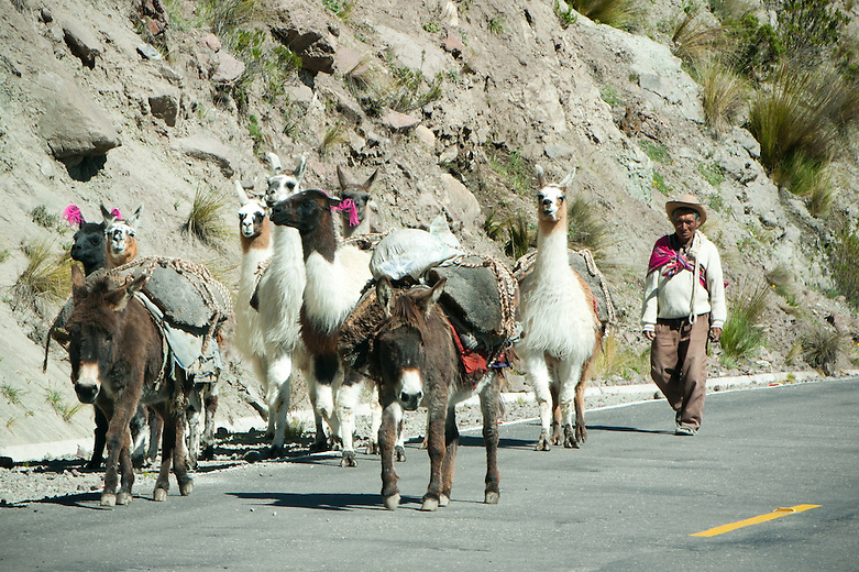 A man walks down the street, alongside his mules and llamas. Llamas have been used as pack and meat animals by Andean cultures since pre-hispanic times.  In the highlands of Peru the llama owners put colorful tassels in the ears of their llamas to identify their herd.