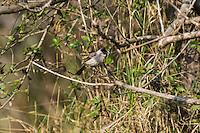 Sooty-headed Bulbul (Pycnonotus aurigaster thais) perched. (Prey Veng, Cambodia)