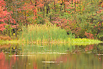 Pond and reeds in autumn.