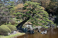 A pine tree hangs over the lake at Higashi-Gyoen, the East Gardens of the Imperial Palace inTokyo