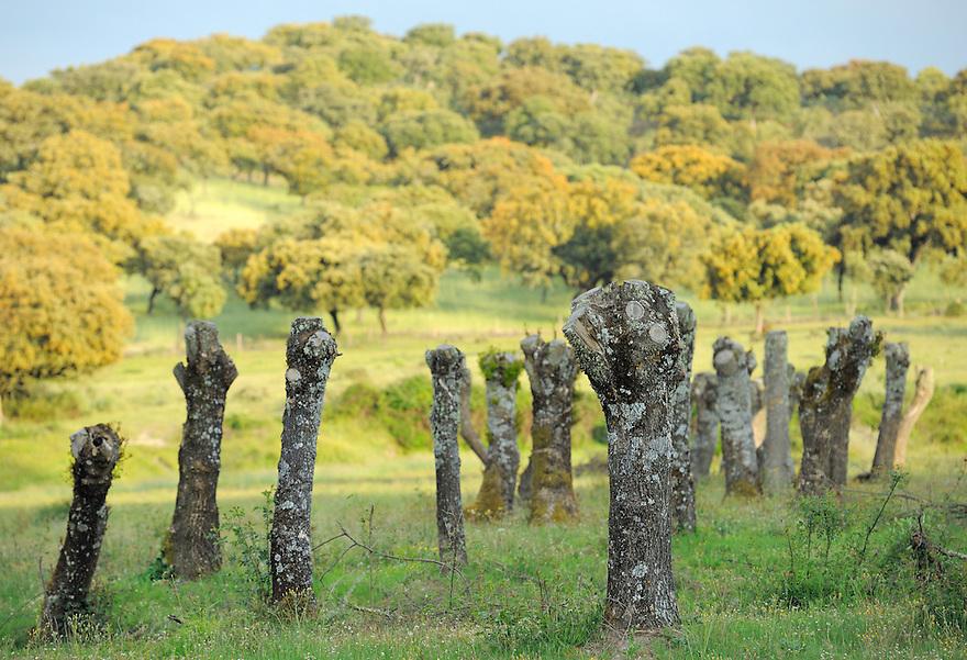 pruned ash trees, in the<br /> Dehesa forests with Pyrenean oak (Quercus pyrenaica)  and Holm oak (Quercus ilex) in Campanarios de Az&aacute;ba nature reserve, Salamanca Region, Castilla y Le&oacute;n, Spain