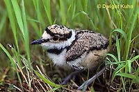 1K06-012z  Killdeer - young chick 1-2 days old - Charadrius vociferus