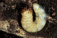 Hirschkäfer, Larve, Larven, Hornschröter, Hirsch-Käfer, Lucanus cervus, Stag beetle, larva, larvae, Schröter, Lucanidae, Stag beetles