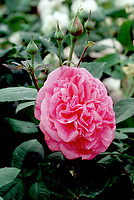Rosa 'Louise Odier' Bourbon  Rose, 1851, powerful fragrance, old rose, pink heirloom rose