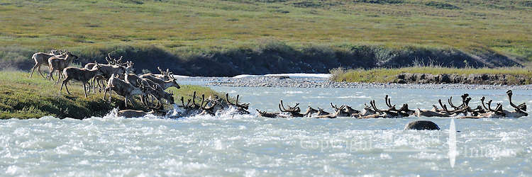 A group of caribou crosses the Hulahula River, which flows north from Alaska's Brooks Range mountains to the Coastal Plain in the Arctic National Wildlife Refuge.
