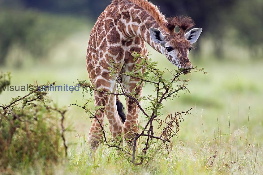 Young Masai Giraffe (Giraffa camelopardalis tippelskirchi) feeding, Masai Mara National Reserve, Kenya, Africa.