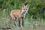 Red fox kit at den. Snowy Range Mountains, Wyoming.